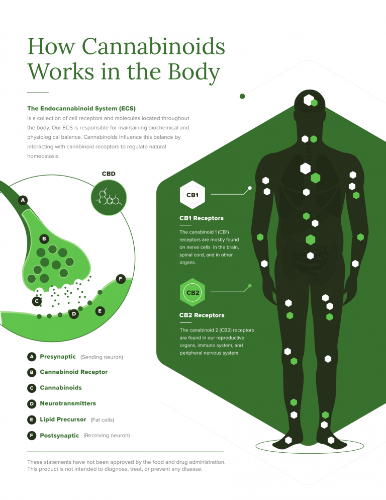 how cannabinoids works in the body infographic